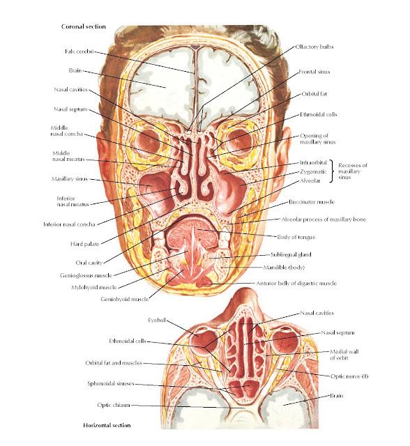 Paranasal Sinuses Anatomy