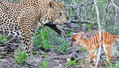 Bayi rusa vs macan tutul