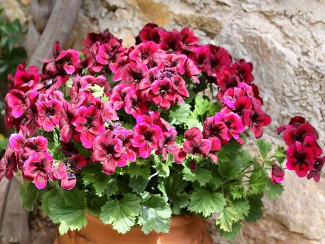 Spring gardening - pelargonium
