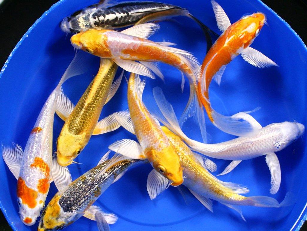 Penyebab White Spot Icht Ikan Koi Cara Mengobatinya Warung Koi