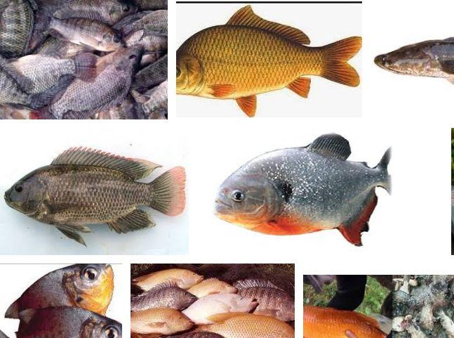 Jenis-jenis Ikan Konsumsi Air Tawar Lengkap