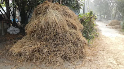 A pile of straw obtained from paddy
