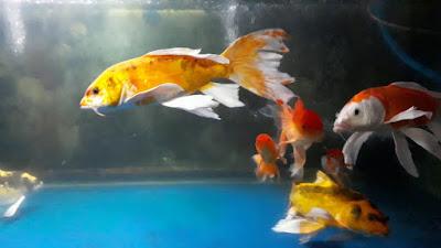 Jenis Ikan Hias Kumpai
