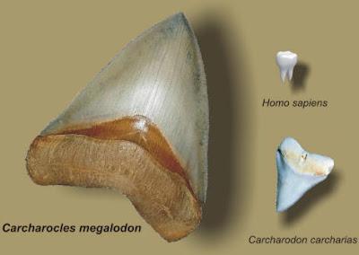 Dentes de Carcharocles megalodon, de tubarão-branco e de um humano