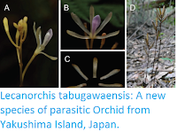 https://sciencythoughts.blogspot.com/2016/12/lecanorchis-tabugawaensis-new-species.html