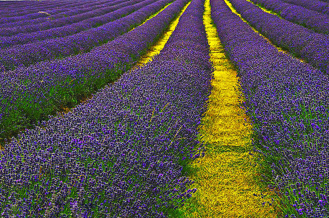 rows of lavender in flower