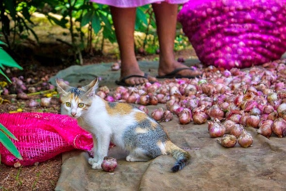 kitten playing with onions at an onion farm in Hiriwadunna