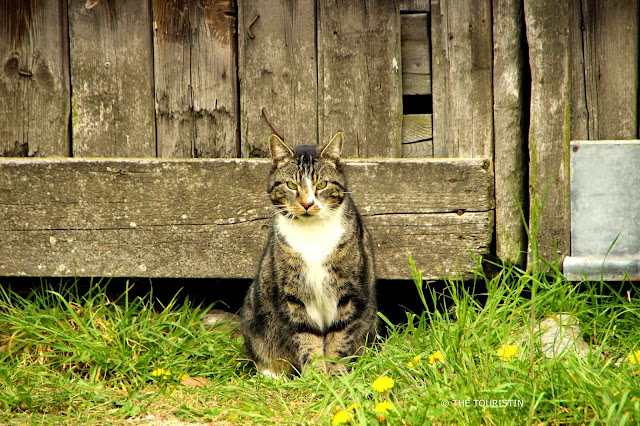 A big tabby cat sitting in the grass in front of a wooden barn door.