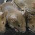 Inimigos de longa data? Ratos fazem companhia aos humanos há 15 mil anos