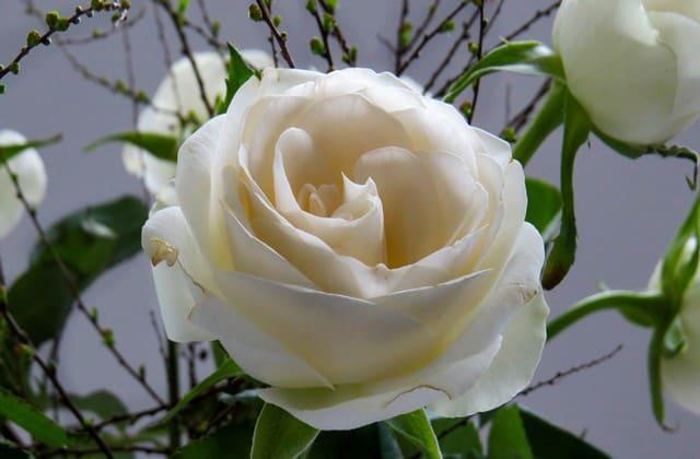 bunga mawar putih menawan