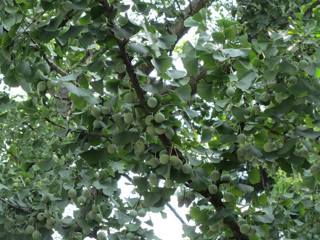 Frutti-Semi-Ginkgo biloba