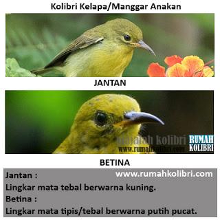 cara membedakan jantan betina kolibri manggar