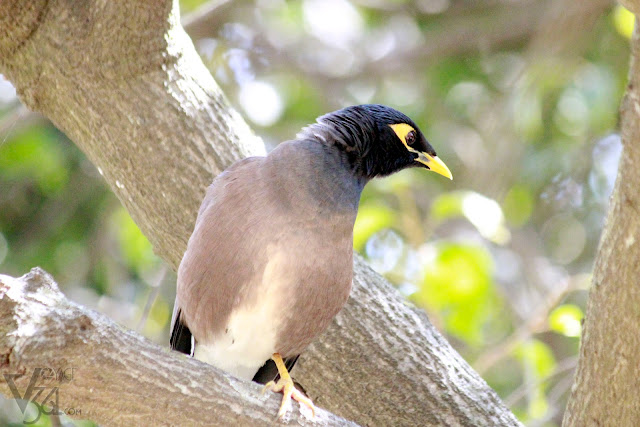 Common Indian Myna