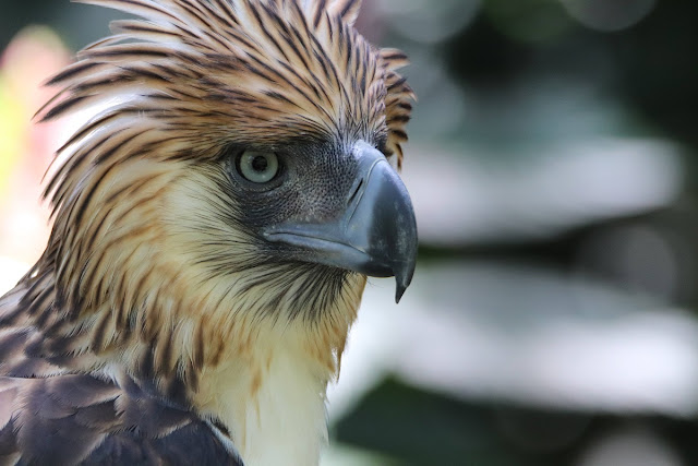 Viggo Philippine Eagle