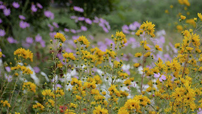 yellow flowers field hd wallpaper