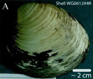 ओशन क्वाहोग्स(Ocean Quahogs) 507 वर्ष तक 10 longest-living Animals Facts | 10 सबसे लंबे समय तक जीवित रहने वाले जानवर