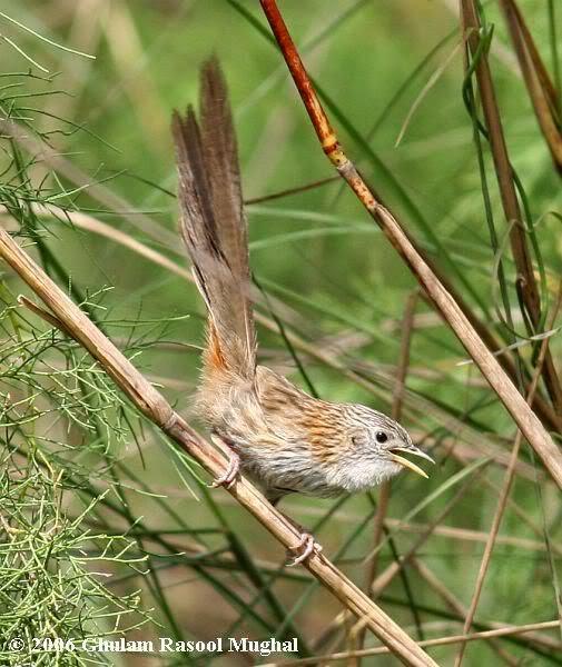 Kumpulan Foto Burung Ciblek Gunung Jantan Foto Burung Kicau