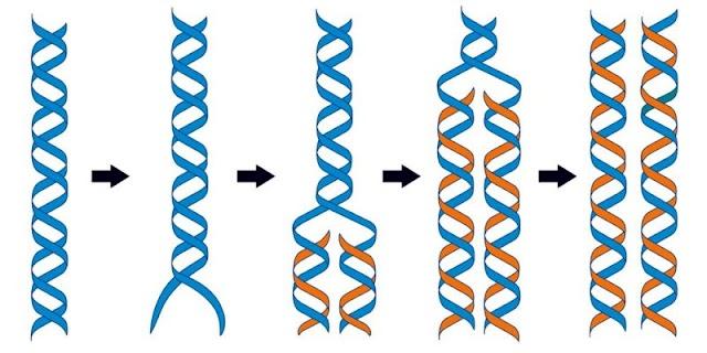 تكرار الحمض النووي