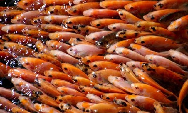 Inilah Supplier Jual Ikan Nila Bibit dan Konsumsi di Manado, Sulawesi Utara