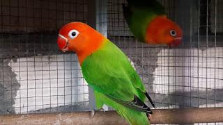 Lovebird Biola Fischeri