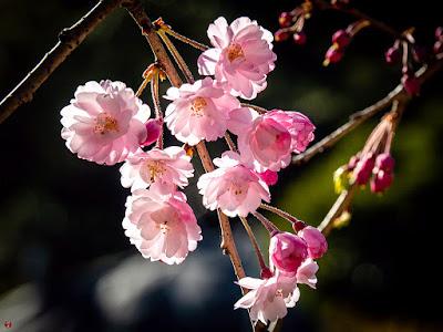 Shidare-zakura (Prunus itosakura Sieb.) flowers: Kencho-ji