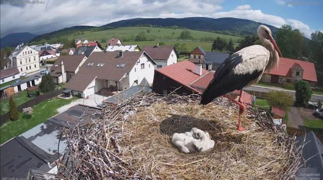 Εκπληκτικό: Ζωντανή μετάδοση από φωλιά πελαργού για καλό σκοπό (live βιντεο)