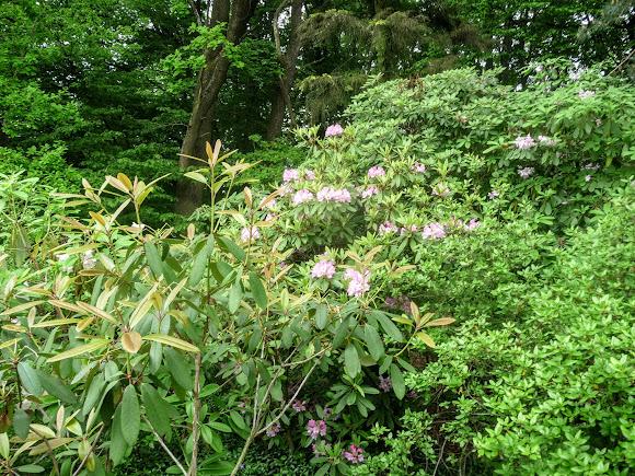 Львов. Ботанический сад. Рододендроны