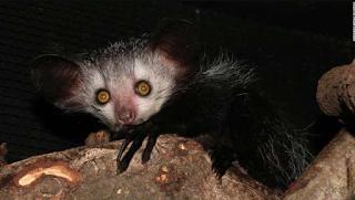 yellow eyed Aye Aye lemur