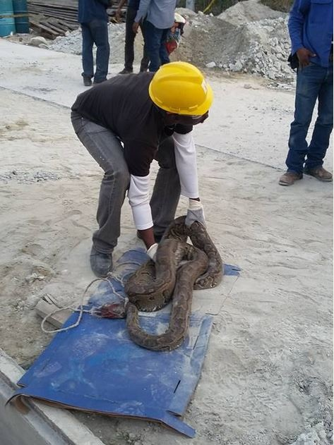 Big Python Killed in an Oil Company in Delta State (Photo)