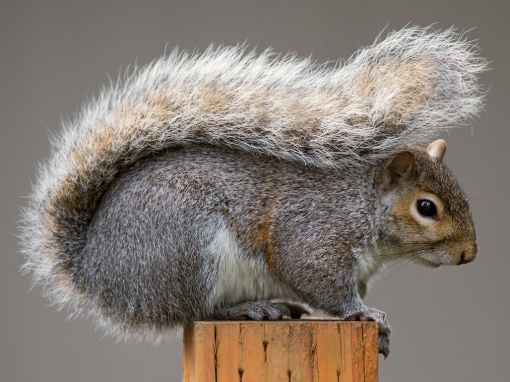 the eastern grey squirrel The eastern gray squirrel is a grayish-brown, bushy-tailed rodent that lives in forests, parks and backyards throughout the chesapeake bay watershed.