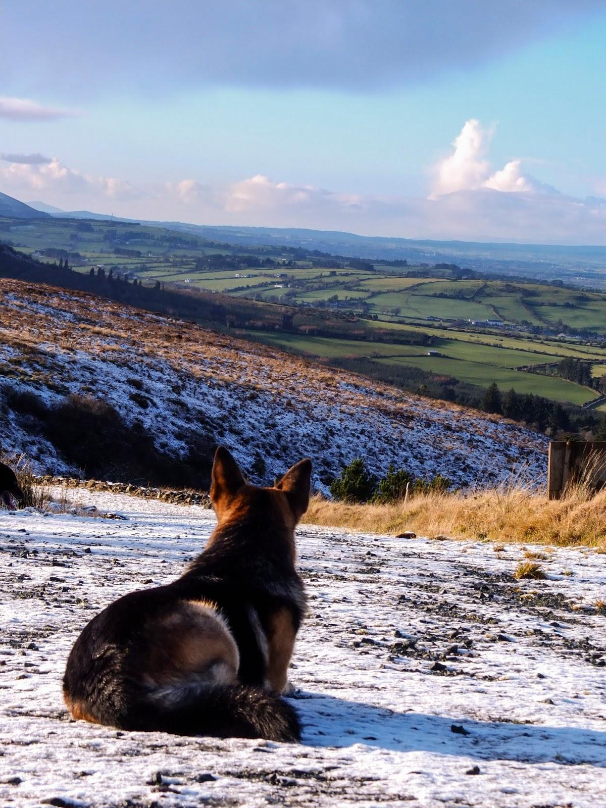 German Shepherd Steve lying on snowy ground looking down the valley.