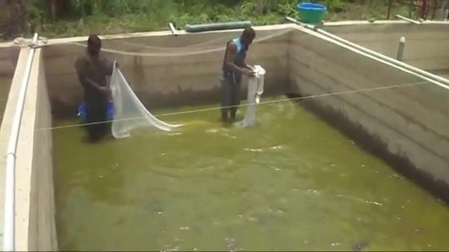 harvesting in concrete fish pond