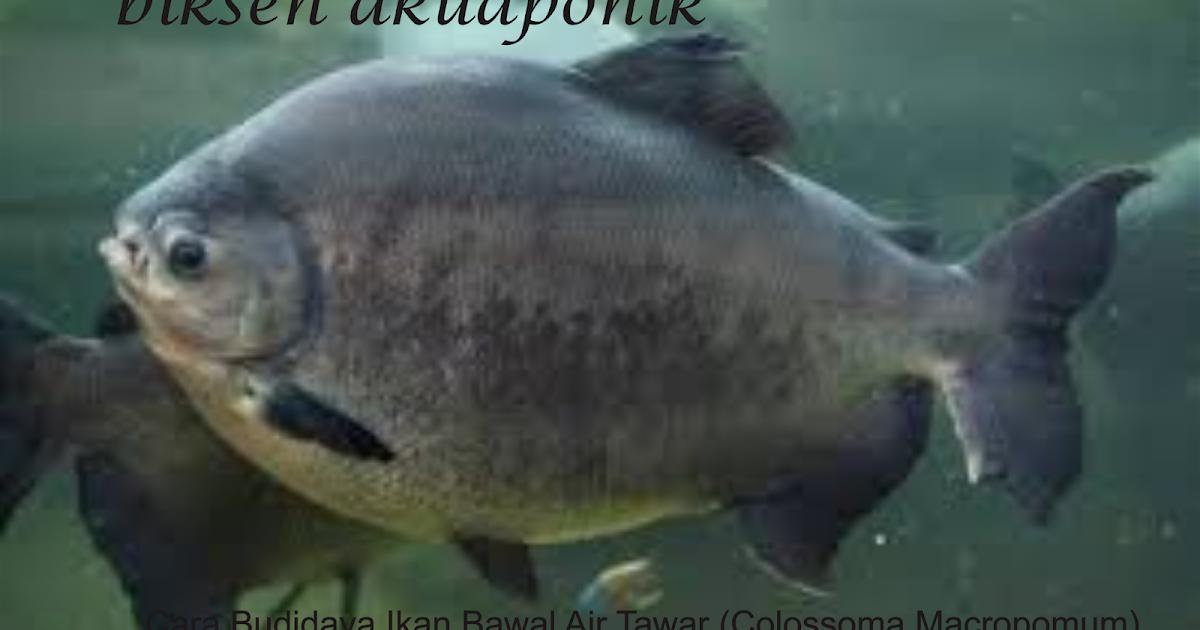 Biksen Akuaponik Cara Budidaya Ikan Bawal Air Tawar Colossoma Macropomum