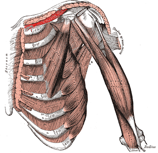 subclavius muscle, action, muscle picture