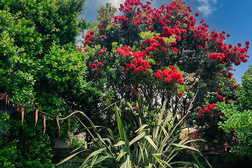 Pōhutukawa, also known as the New Zealand Christmas tree.