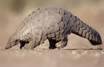 Is Pangolin behind coronavirus ?
