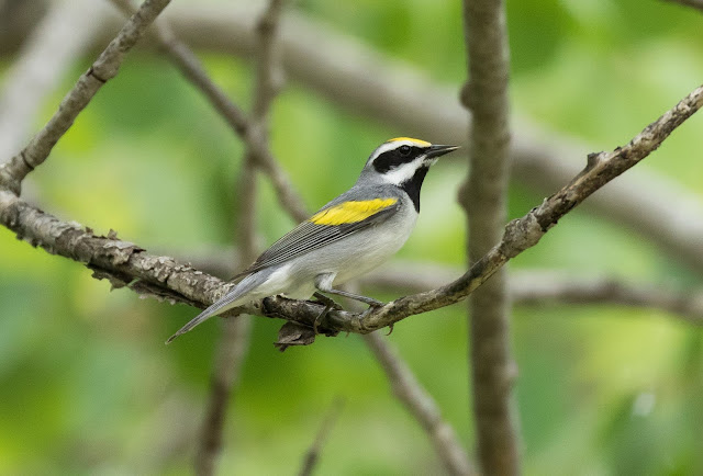 Golden-winged Warbler - Shumsky Road, Michigan, USA