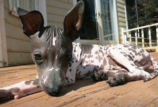 Everything about your American Hairless Terrier