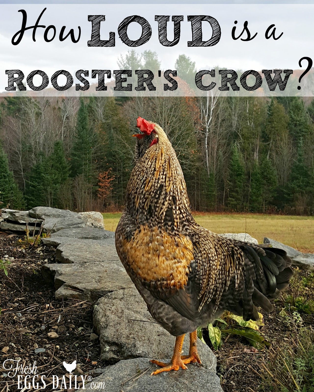 so just how loud is a rooster u0027s crow fresh eggs daily