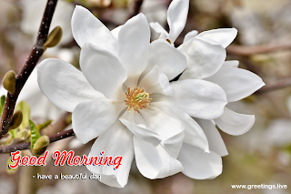 White Magnolia Flowers Good Morning Images