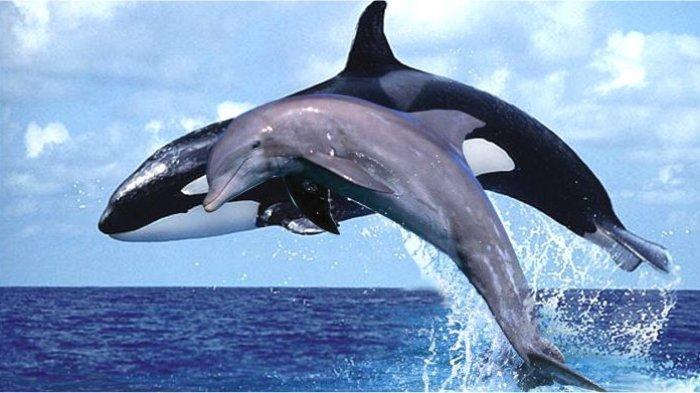 Mengapa Lumba Lumba Dan Paus Naik Ke Permukaan Belajar Sampai Mati