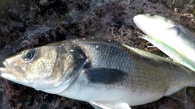SE%25C3%2591UELO - Pasión por la pesca de la robaliza 🎣🐟🐟🐟