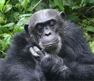 chimpanzee tracking, chimps trek, uganda chimps, kibale chimps tour, chimps permits, chimpanzee tracking permit uganda, low cosst accomodation kibale, fort portal hotel, good lodge kibale, tour operator kibale, book chimps permit kibale, chimpanzee walk, primate walks kibale, primate tour uganda, budget safaris uganda, game lodges uganda, lodge safari uganda, game viewing safari uganda, Wildlife Safari Uganda, chimps tour uganda, kibale chimps, Gorilla safari, uganda gorilla safari, Uganda Tours, Uganda Tour, Tour Uganda, Queen Elizabeth National Park, Uganda Safari parks, Uganda Holiday, Uganda Vactions, Wildlife Tour in Uganda, Safari to Uganda, Uganda Parks, guided tours uganda, kibale forest tour,chimps,kibale,chimpanzee,Fortportal,primates,Kaninga,crater lakes, kibale chimps safari, book uganda lodges, uganda tour operator
