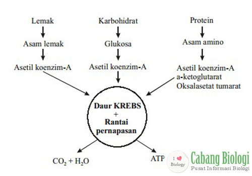 Diagram yang menunjukkan Siklus Kreb sebagai penghasil energi