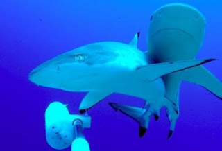 reef sharks and baited camera