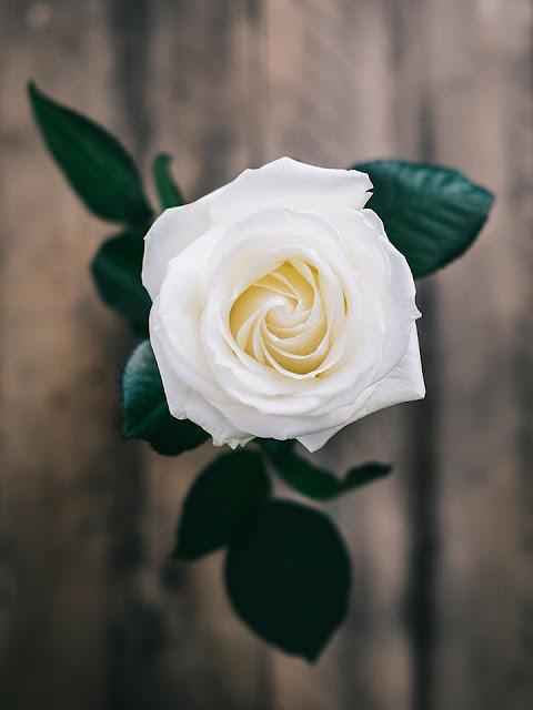 خلفيات ورود جميلة جدا صورة وردة جميلة 17