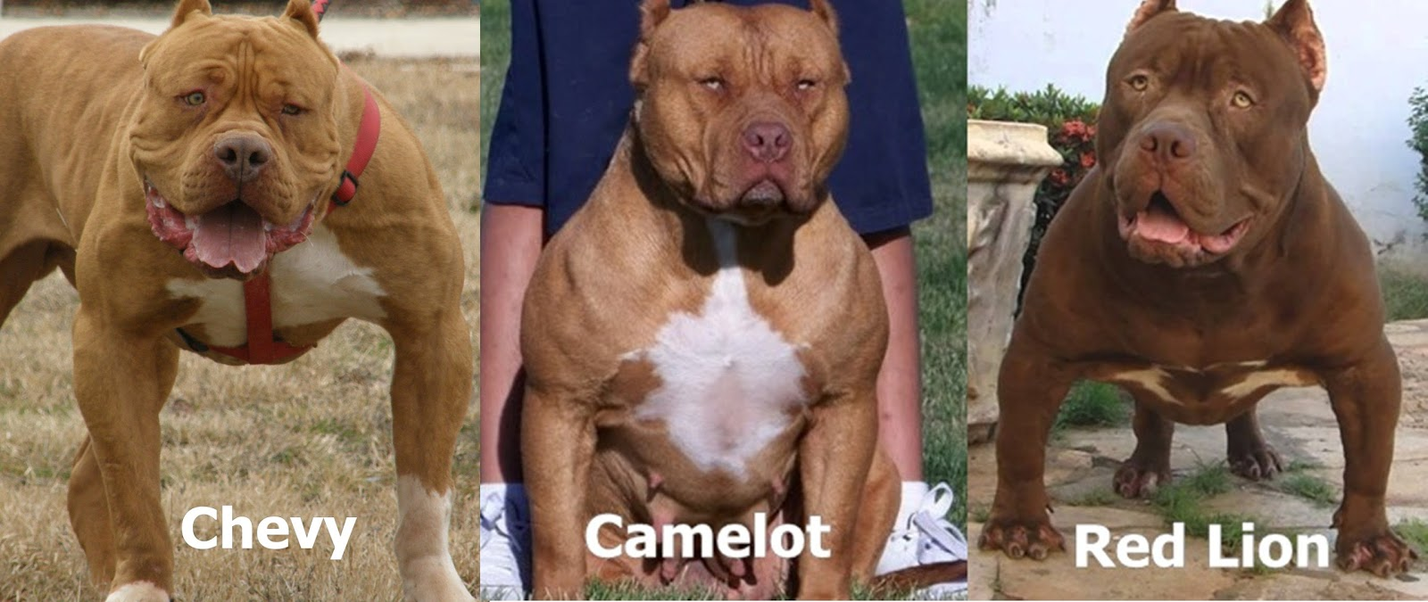 bullmastiff mix with a pitbull pictures photos images