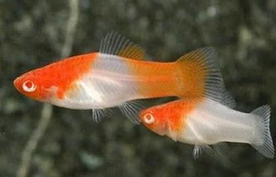 Ikan Platy Kohaku (Santa Clauss)