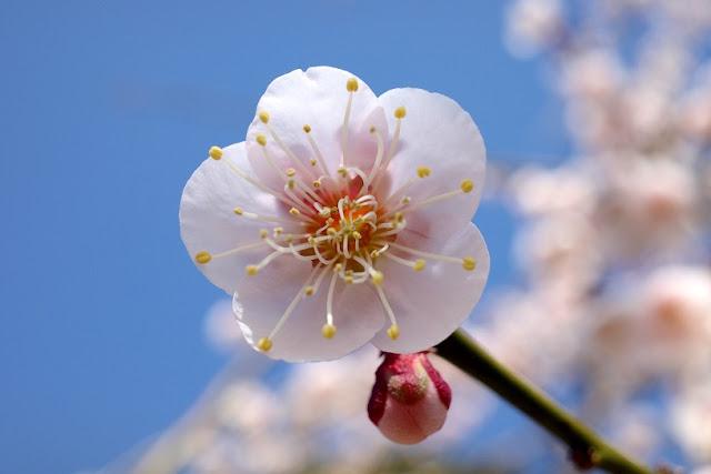 仄かなピンク色に染まる梅の花