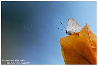 http://caribou976.blogspot.fi/search/label/Chilades%20sp